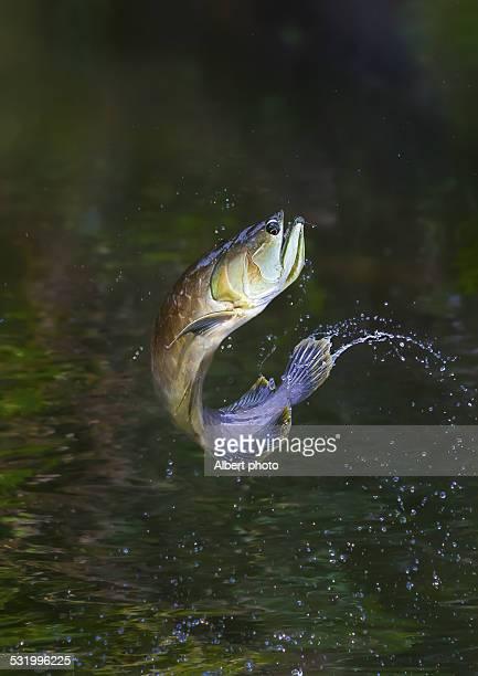 Arowana, Fish