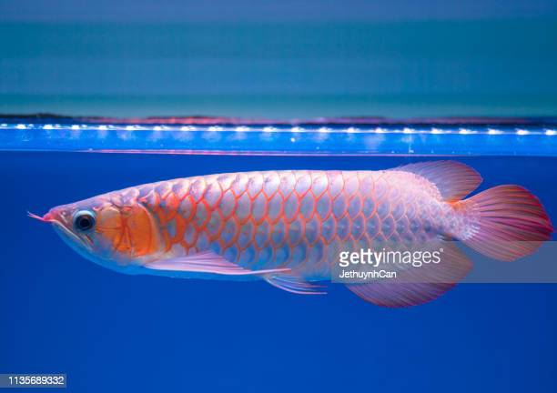 267 Arowana Photos And Premium High Res Pictures Getty Images