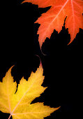 part yellow orange maple leaf black