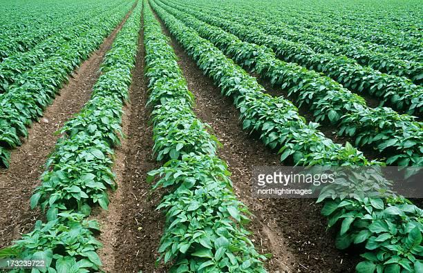 Arrangement of rows of potatoes growing in a field