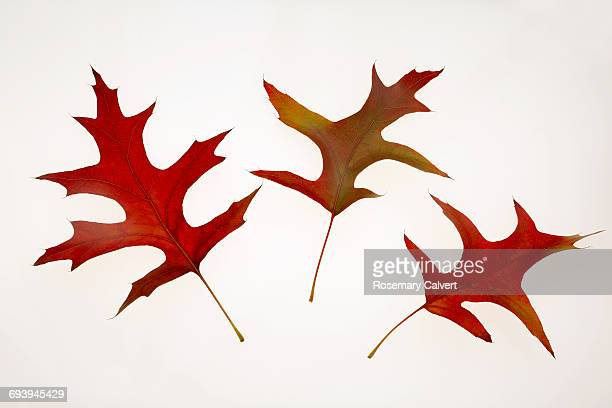Arrangement of three Northern Red Oak leaves.