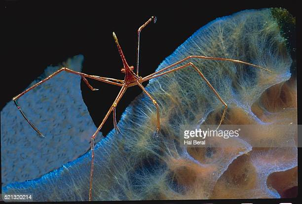 Arrow Crab