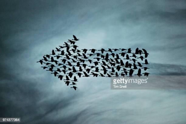 arrow sign formed by birds, los llanos, venezuela - vogelschwarm formation stock-fotos und bilder