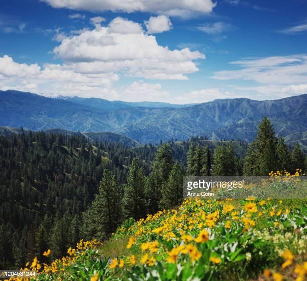 arrowleaf balsamroot flowers lining hillside along station creek trail on partly cloudy summer afternoon, central idaho - anna creek station stockfoto's en -beelden