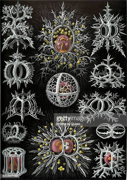 art forms of nature radiolarians