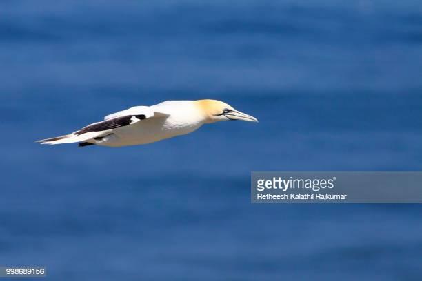 art of flying - northern gannet stockfoto's en -beelden