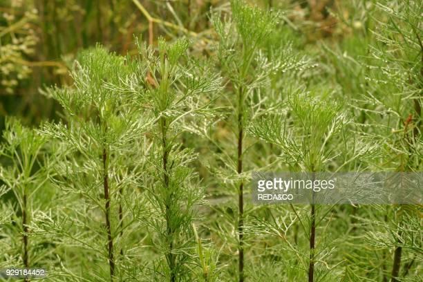 Artemisia abrotanum lad's love abrotano