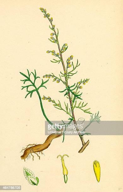 Artemisia campestris Field Southernwood