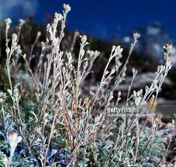Artemisia mutellina Asteraceae