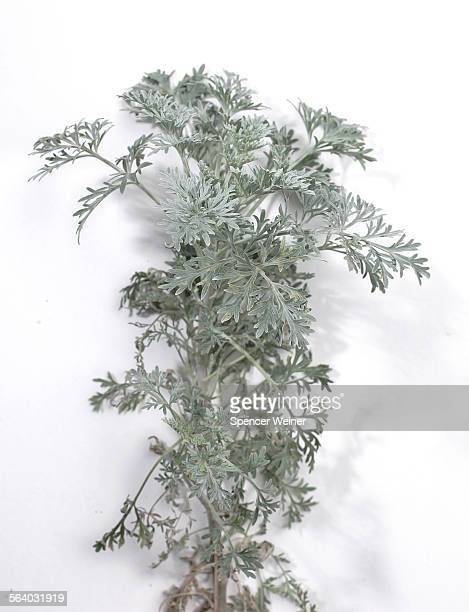 Artemisia 'Powis Castle' For HM story on the wide variety of greens in the plant world