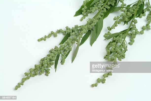 Artemisia vulgaris officinalis Mugwort Wegwood spice herb culinary herb medicinal plant