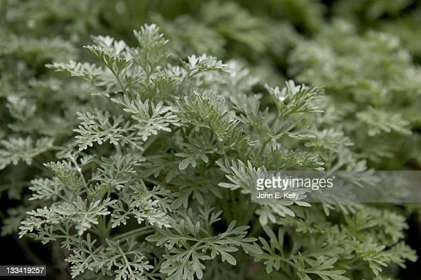 artemisia-powis castle herb - artemisia photos et images de collection