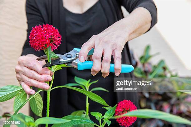 Arthritis Arthritic Seniors hands cutting Flowers