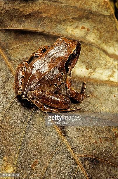 arthroleptis variabilis (buea screeching frog) - garrapata de perro fotografías e imágenes de stock