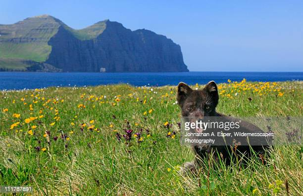 Artic Fox, Hornstrandir Peninsula, Iceland