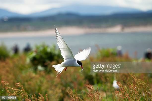 Artic Tern flying with fish