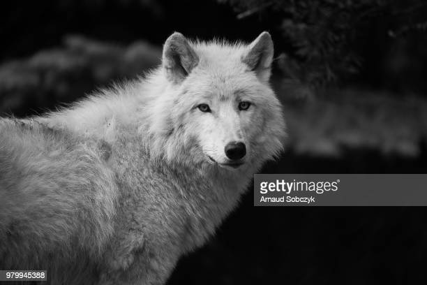 2 193 Black And White Wolf Photos And Premium High Res Pictures Getty Images