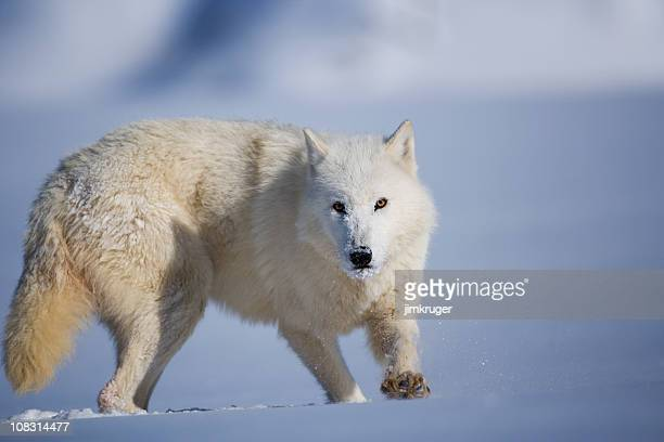 Artic wolf tracking through deep snow.
