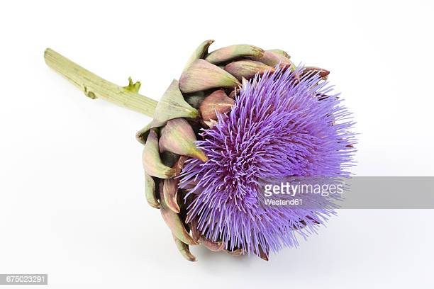 Artichoke blossom on white background