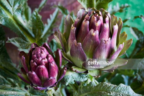 artichoke. - crmacedonio stock pictures, royalty-free photos & images