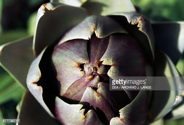Artichokeinerme variety thornless