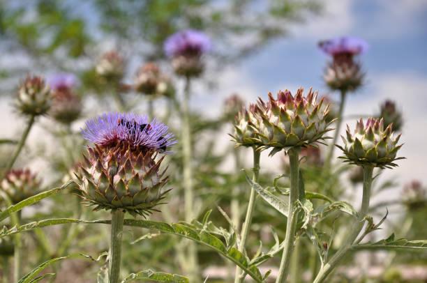Artichokes flowers