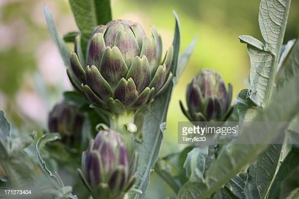 Artichauts sur Plant