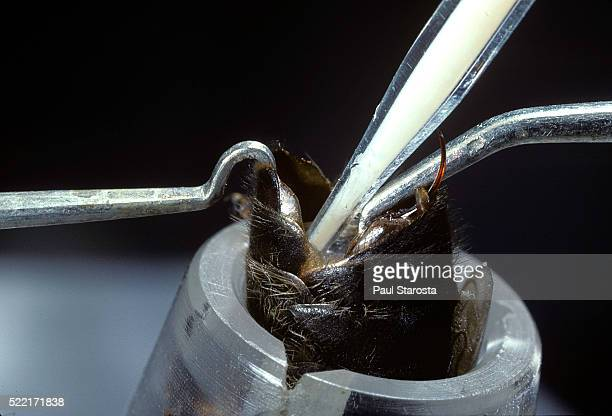 artificial insemination of a queen bee - queen bee stock pictures, royalty-free photos & images