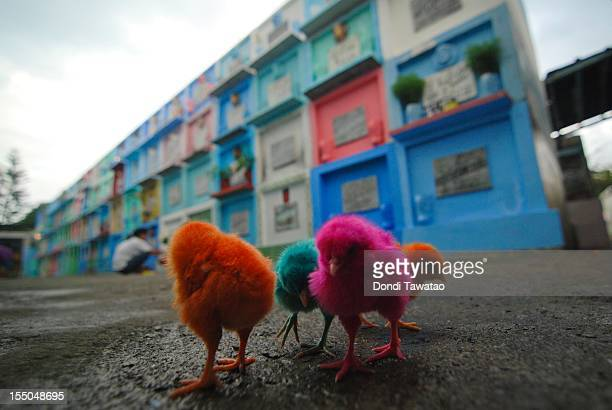 Artificially colored chicks roam at the Manila north cemetery on October 31 2011 in Manila Philippines The 'Day of the Dead 'All Saints' Day' and...