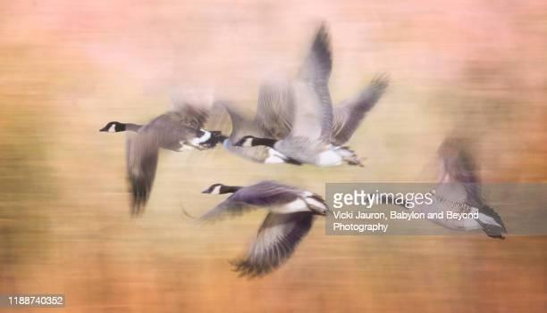 artistic panorama of birds in flight against gold background - kanadagans stock-fotos und bilder