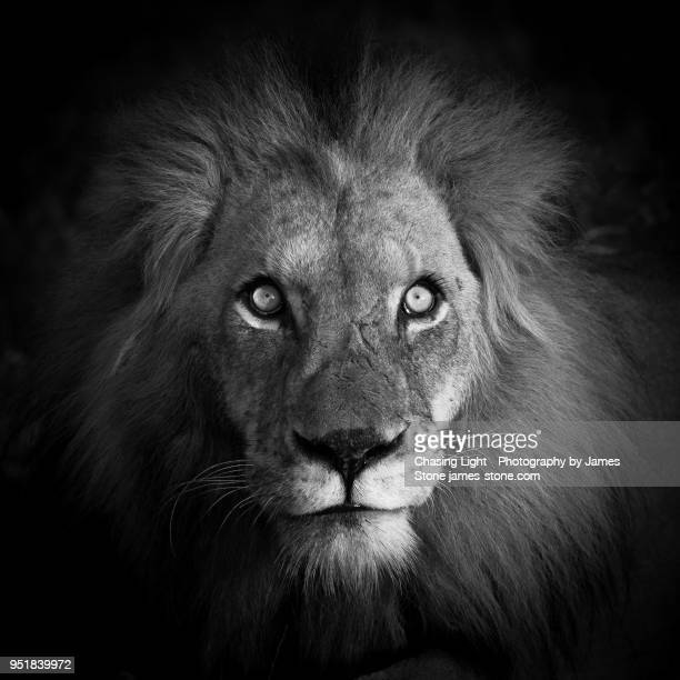 artistic portrait of a majestic male lion, looking at camera, black and white - male animal stock pictures, royalty-free photos & images