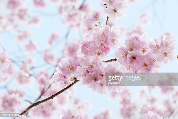 Artistic shot of cherry blossom, with blurred background