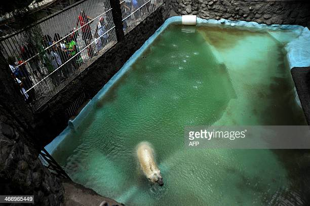 Arturo the only polar bear in Argentina living in captivity at a zoo in Mendoza 1050 km west of Buenos Aires is pictured at his enclosure on February...