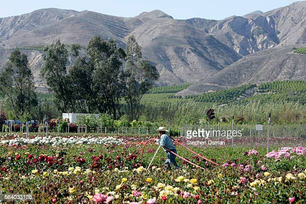 Arturo Vaca 60 pulls a water hose through a field of roses Otto and Sons one of the largest rose wholesalers in the US is located on 40 acres in...