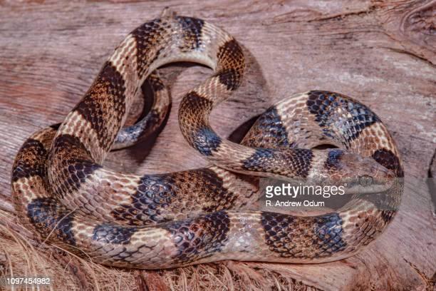 Aruba cat-eyed snake