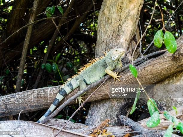 Aruba, green Iguana on tree trunk