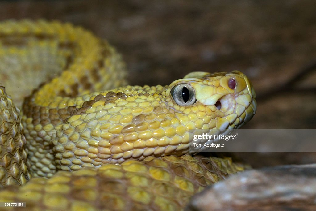 aruba rattlesnake picture id598770154?s=612x612 pit viper stock photos and pictures getty images