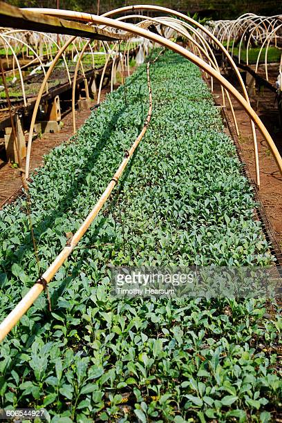arugula starts under hothouse framework - timothy hearsum stock photos and pictures