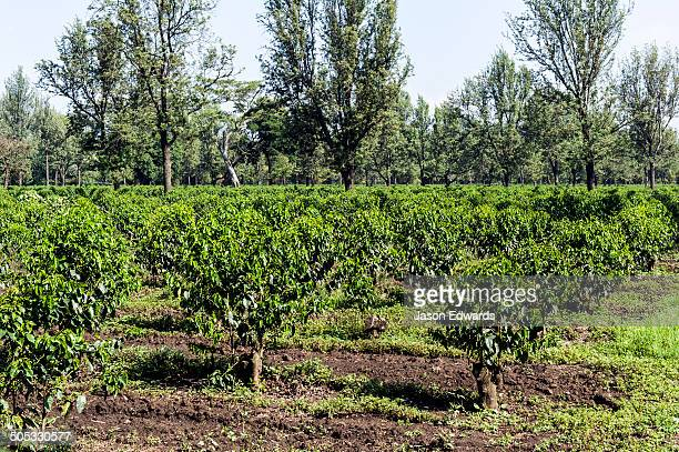 Neat rows of coffee trees in an orchard interspersed with nut trees.
