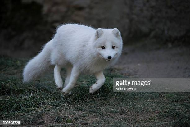 arxtic fox in winter coat - arctic fox stock pictures, royalty-free photos & images