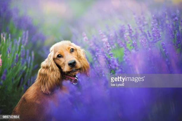 arya - cocker spaniel stock photos and pictures