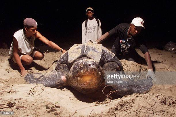 As a giant Leatherback turtle lays her eggs in the sand volunteers from Mopawi check for ID numbers and prepare to take measurements April 10 2002 in...