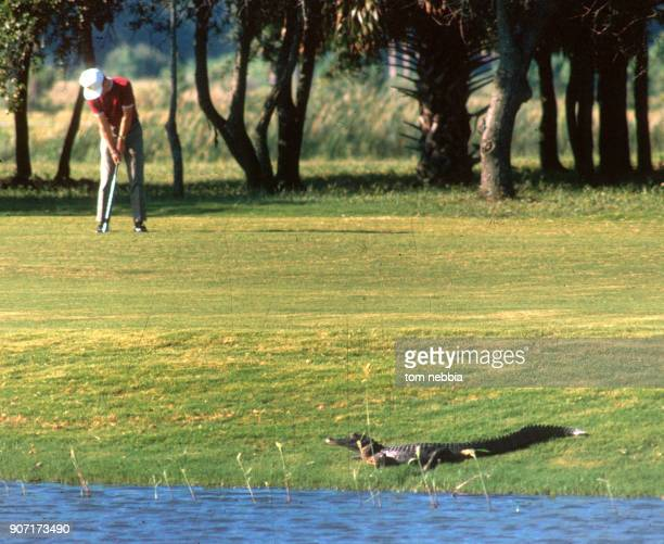 As a golfer lines up a sot an alligator perches at the water's edge on a golf course on Hilton Head Island South Carolina 2000