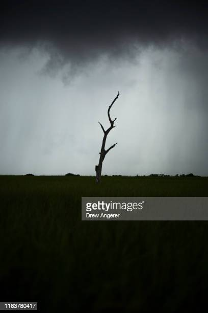 As a storm moves in a dead oak tree stands in the marsh along Louisiana Highway 1 on August 24 2019 in Grand Isle Louisiana Many oak and cypress...