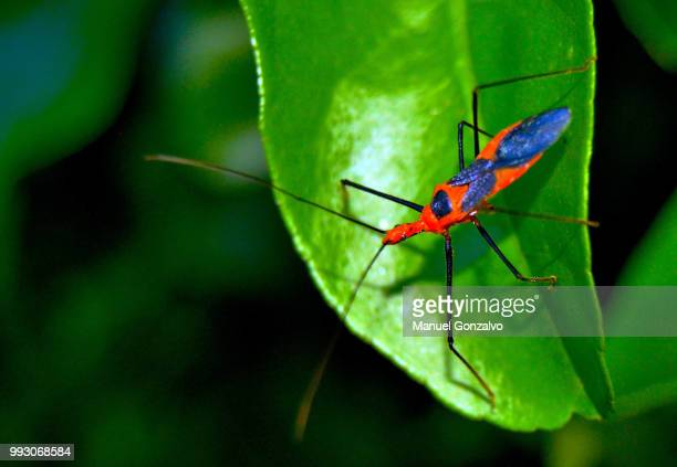 as above, so below. as below, so above. - kissing bug stock photos and pictures