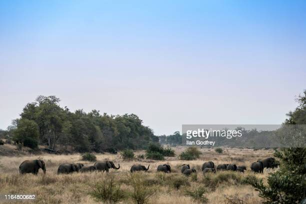 As dusk approaches a breeding herd of elephant go in search of greener pastures Rain with not fall in this area for several more months