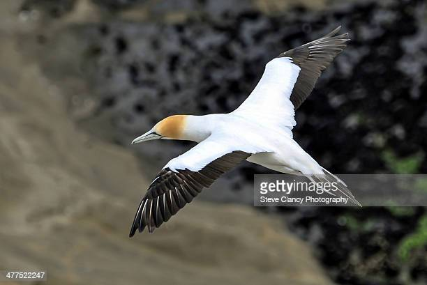 as free as a bird - gannet stock photos and pictures