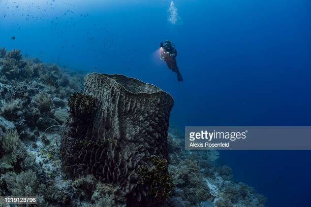 As in this case, barrel-sponges can reach impressive sizes on the coral reef of Tubbataha, on April 25, 2018 in the North of Palawan, Philippines,...