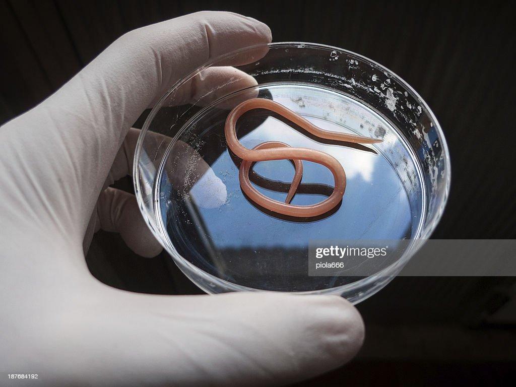Ascaris nematode parasite on a petri dish : Stock Photo