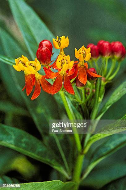 asclepias curassavica (tropical milkweed, bloodflower, cotton bush, 6hierba de la cucaracha, mexican butterfly weed, redhead, scarlet milkweed, wild ipecacuanha) - milkweed stock pictures, royalty-free photos & images